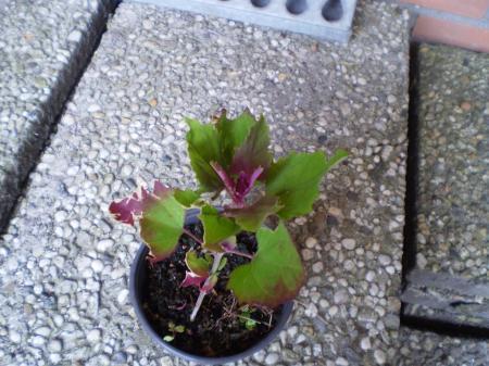 Groen paars blad