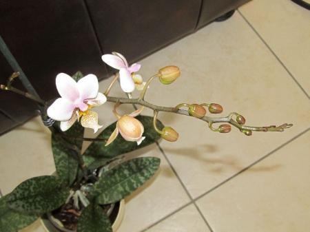 Phaleanopsis Schilleriana.(Up Date)
