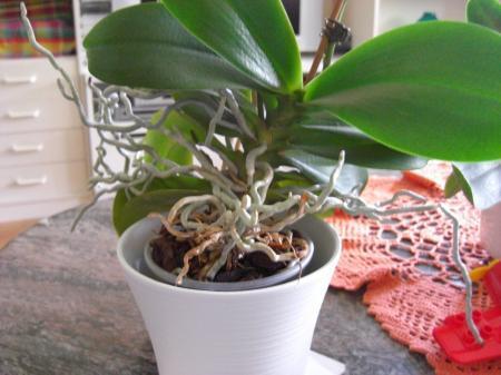 Misvormde bloemen phalaenopsis