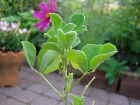 Kreta plant/zaad