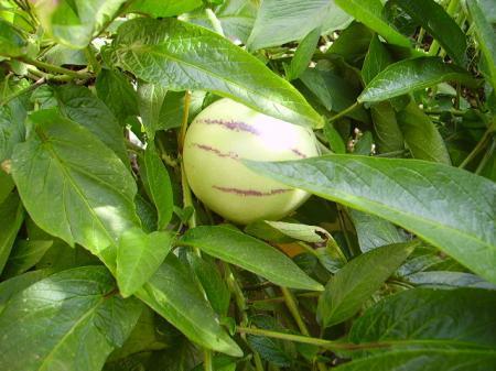 Solanum muricatum - Pepino