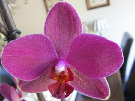 Phalaenopsis in bloei stengel uit het hart.