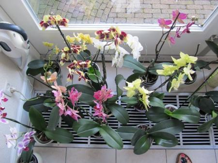 Paar kiekjes van Phalaenopsis Orchidee.