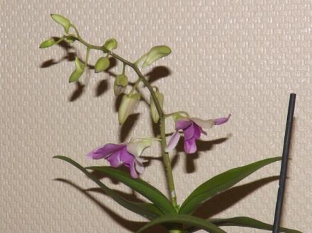 Dendrobium Phalaenopsis laat zijn kopjes hangen