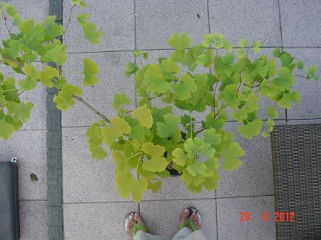 ginkgo bonsai
