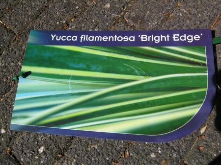 Yucca filifera 'Bright Edge' ?