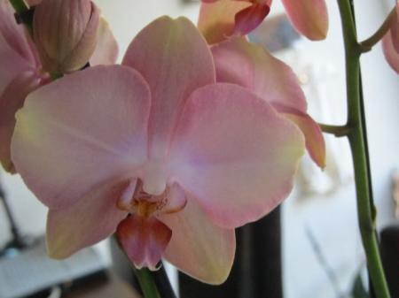 Nieuwe Phalaenopsis orchidee.