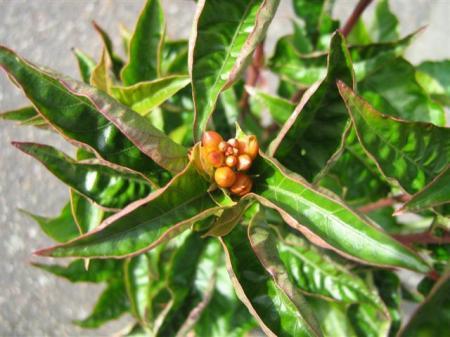 welke plant is dit