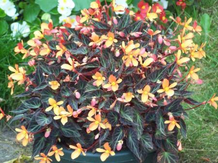 Welke Begonia is dit?