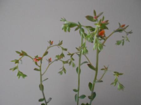 Vetplant met roze randje