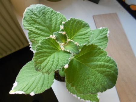 naam plantje ?/Plectranthus