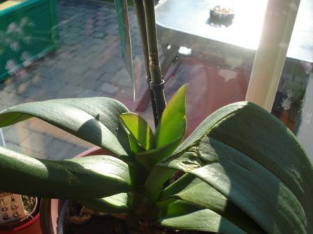 phalaenopsis met probleem van groei bloemtak