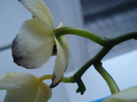 Welke bloemen bevruchten op vertakte bloemstengel?