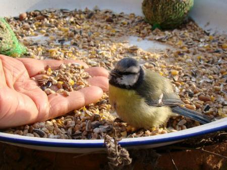 Jong pimpelmeesje eet uit de hand..