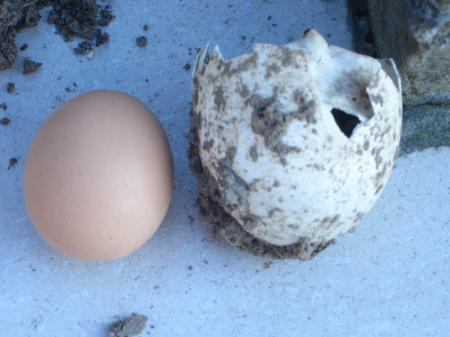 van welk dier is dit ei?