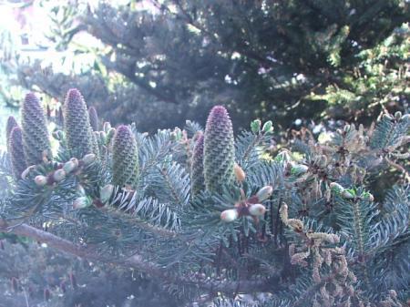 denneboom stuifmeel