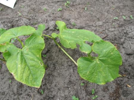 Vlekjes op blad van bonenplanten