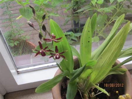 naam orchidee