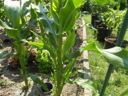 zoete mais-zijscheuten