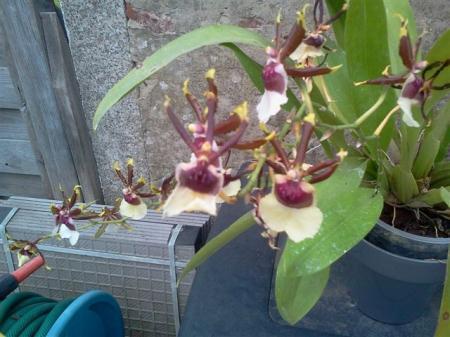 welke orchidee is dit ?