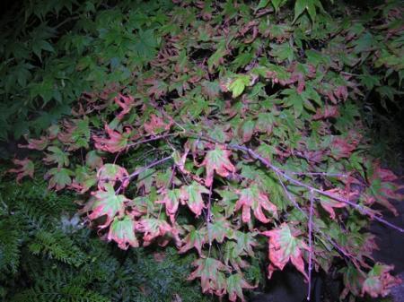 Een plataan boom die zijn blaren massaal verliest