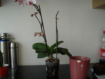 de juiste pot voor phalaenopsis