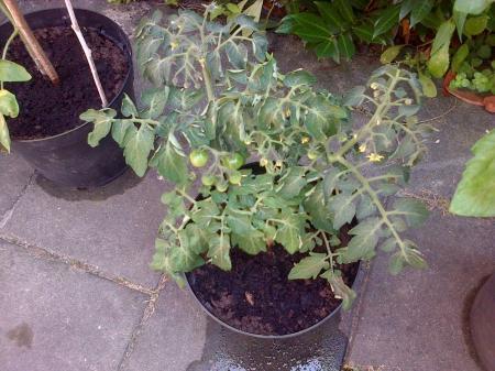 tomaten planten verbranden