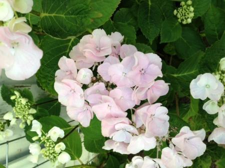 Hortensia soort