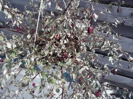fuchsia opeens erg droog