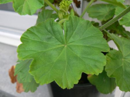 Welke vaste plant is dit?