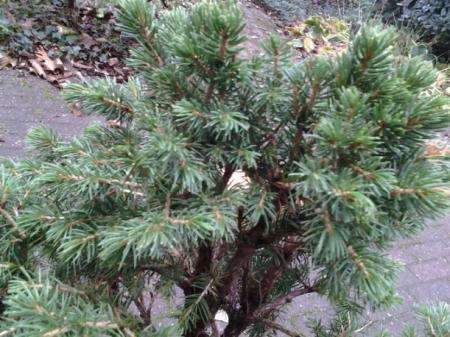 wat voor bonsai maken van dit boompje