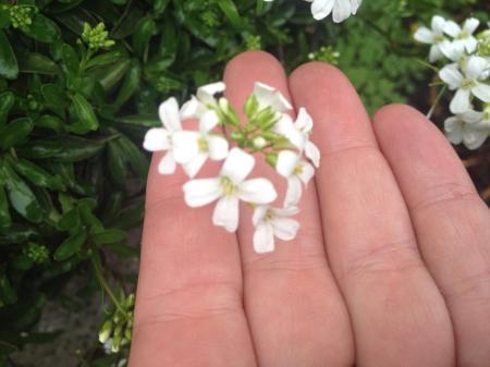 Wat voor bloemetje is dit?