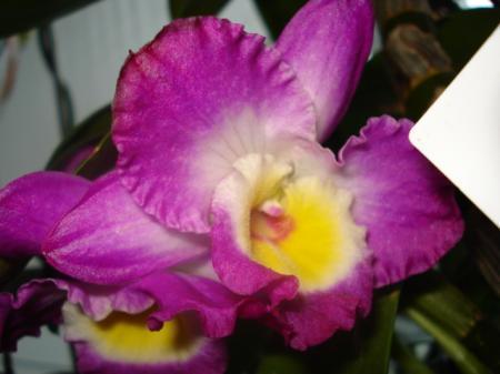 Dendrobium nobile, in welke fase nu?