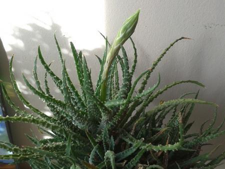 Aloe humilis......