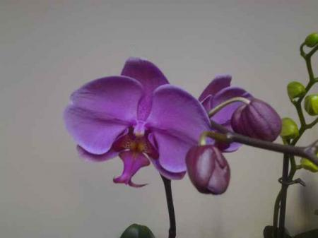 bloemknop phalaenopsis probleem - vals alarm
