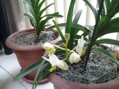 mama vanda en kleintje in bloei update