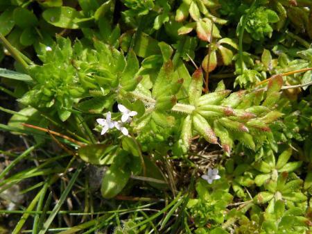 Plant uit de Galium familie?