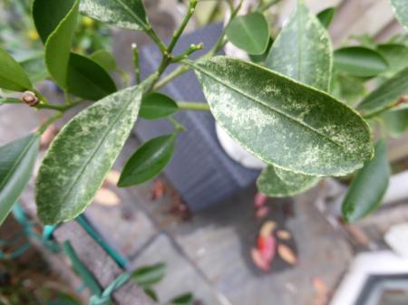 Vlekken op bladeren van citrusplant
