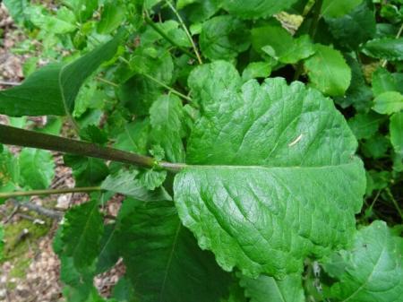 wie herkent deze plant ?