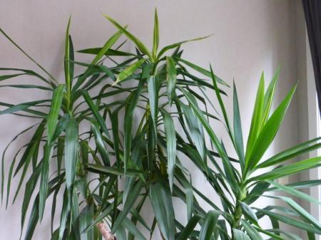 Witte schimmel op yuccabladeren