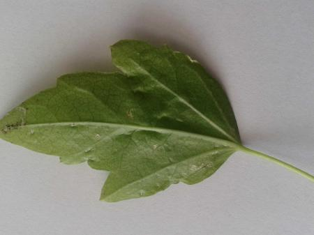 Witte vlekjes op bladeren