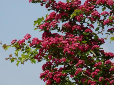 naam van een fuchsia-kleurig bloeiende boom