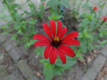 Zinnia tenuiflora 'Red Spider' hoe te kweken