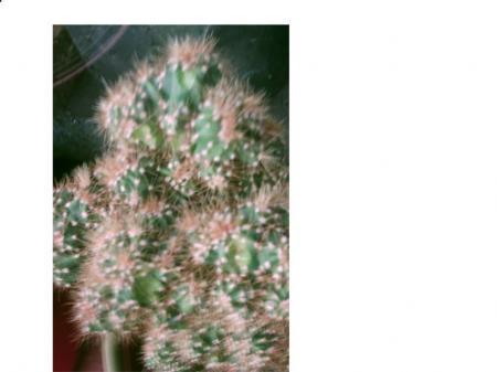 Cereus peruvianus monstrosis