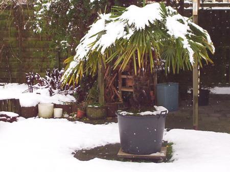 1 ) Trachycarpus/fortunei./wagnerianus.