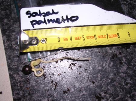 3 ) Sabal domingensis / bermudana / mexicana