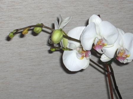 Phaleanopsis witte wortels of groene wortels??