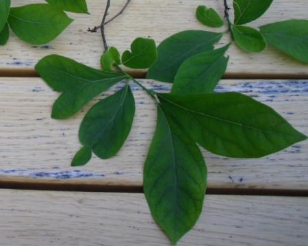 struikje/plantje Engeland