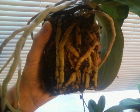 Verpotten van Palaenopsis