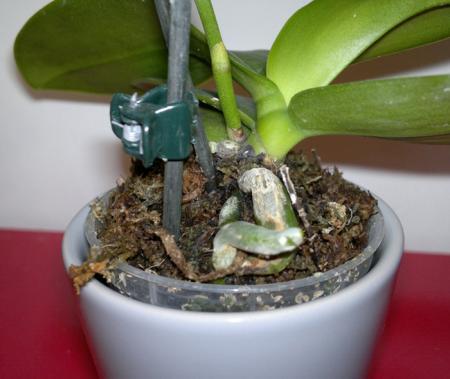 Kleine Phalaenopsis Ve White